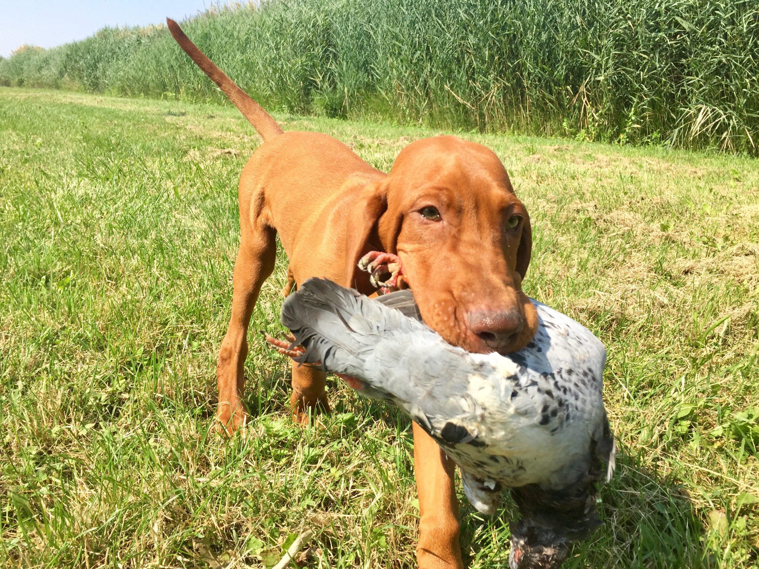 Board & Train Hunting Puppy Head Start